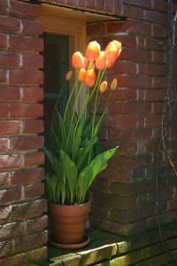 Tulips at Filoli