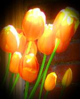 Tulips at Filoli (edited)